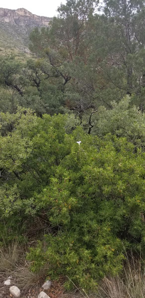 mynd af McKittrick Canyon..Guadalupe Mountains Mountains