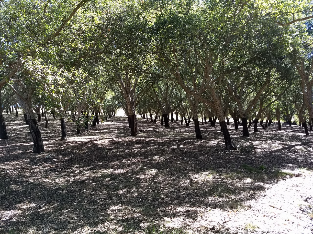 Foto de Cork Oak Forest - National Arboretum